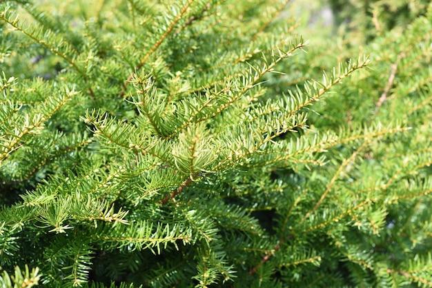 Taxus cuspidata 일본의 주목 또는 확산 주목