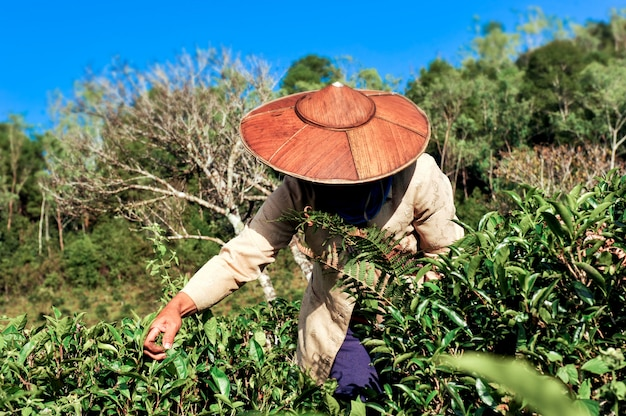 Tea agriculturist picking tea leafs.