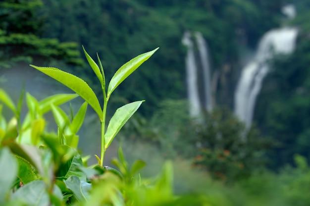 Бутон и листья чая. чайные плантации, шри-ланка