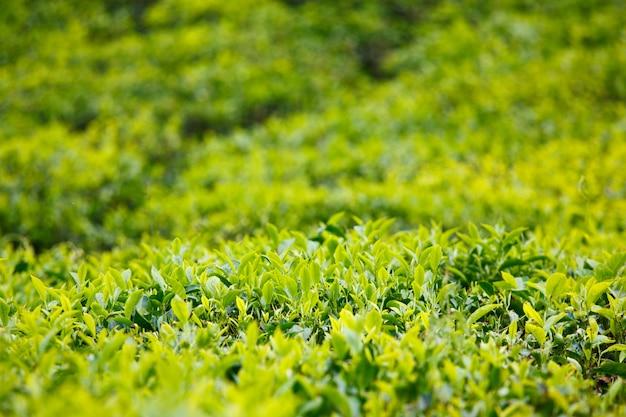 お茶のつぼみと葉