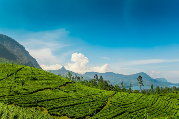 Tea estates at mawussakele in sri lanka