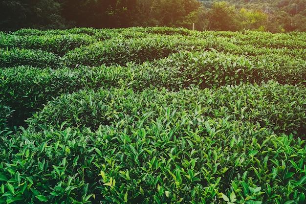 お茶の新鮮な緑の葉。茶畑。ソチロシア