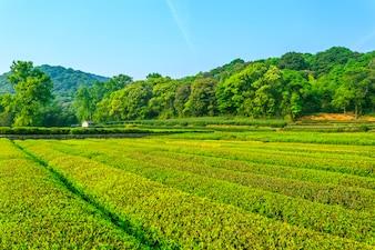 Tea garden fresh culture scenery