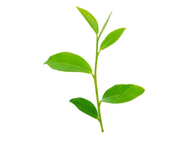 孤立した白の茶葉