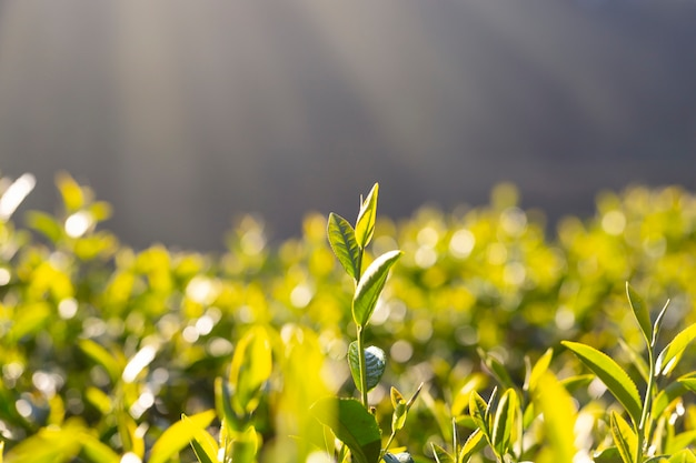 Tea leaf shoots are growing under the sunlight in the morning.