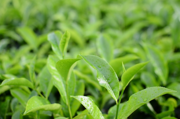 Tea leaves on a blurry background