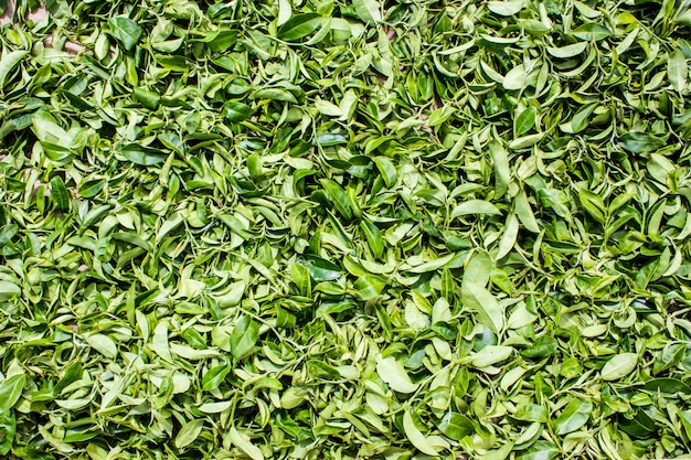 Tea leaves collecting area background