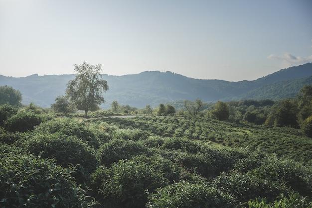 Урожай чайных листьев. поле.