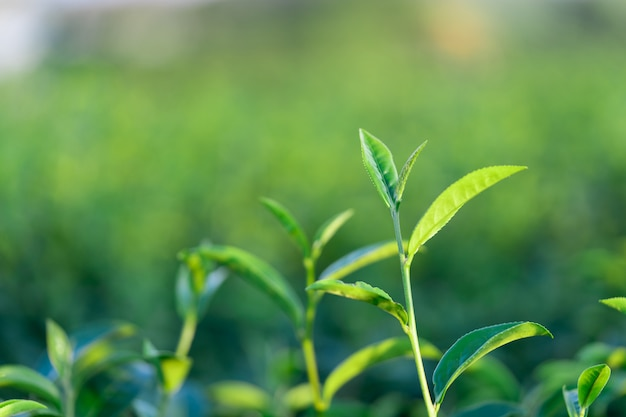 The tea leaves grow in the middle of the tea plantation
