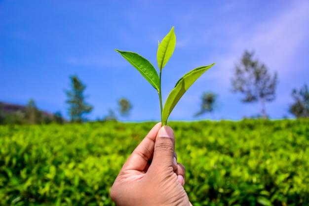 Tea leaves on hand