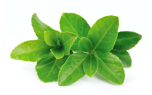 Чайные листья на белом фоне Premium Фотографии