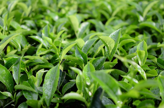 Чайные листья на плантации после дождя