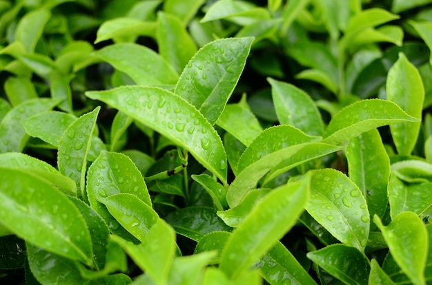 Чайные листья, подверженные воздействию капель воды
