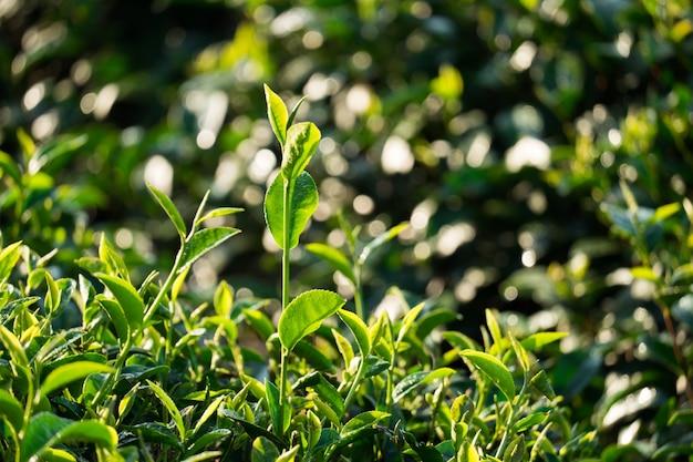 茶葉 Premium写真