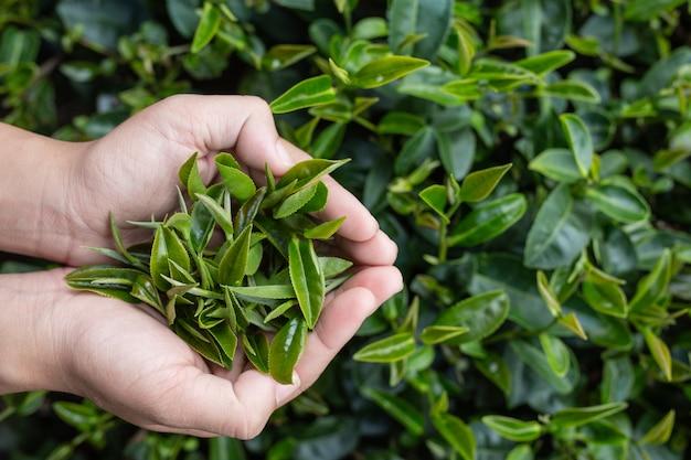 Азиатские руки женщины сборщика чая - близкое поднимающее вверх, милая собирающая чай девушка в плантации.