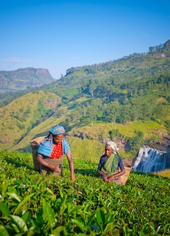 Tea pickers at a plantation in sri lanka
