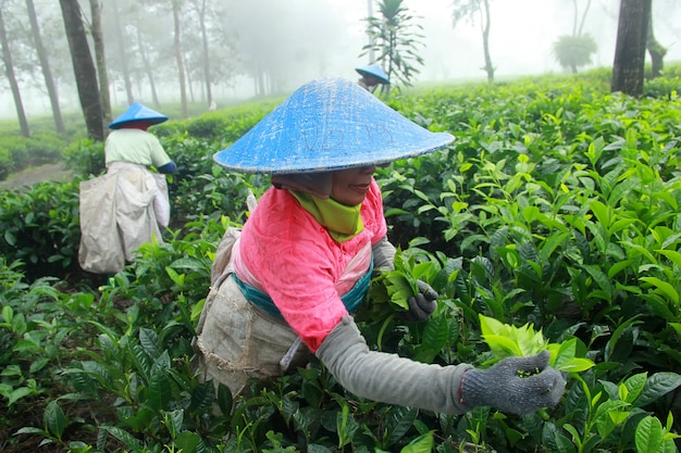 Tea picking farmers