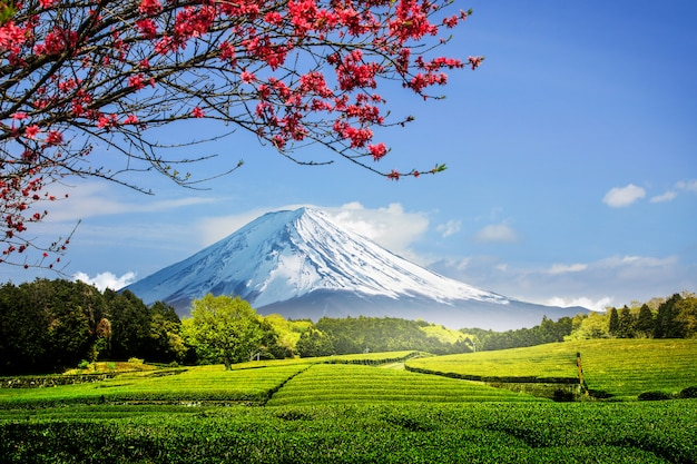 Tea plantation on the back overlooking mount fuji with clear sky in shizuoka, obuchi sasaba, japan