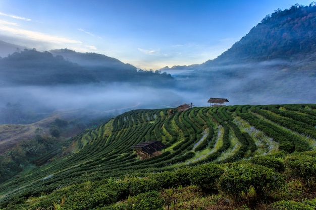 도이 앙 캉, 치앙마이 태국에서 도이에서 차 농장 아름다운 풍경 유명한 관광 명소