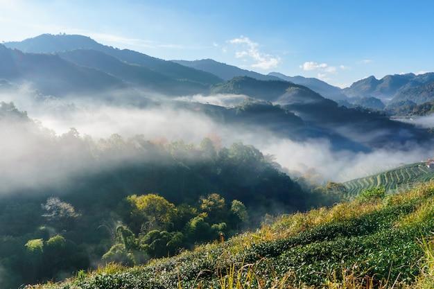 Tea plantation beautiful landscape famous tourist attraction at doi at doi ang khang, chiang mai thailand