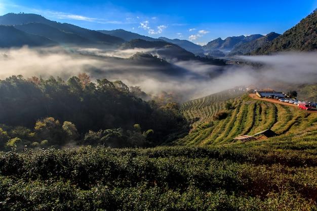 Tea plantation beautiful landscape famous tourist attraction at doi at doi ang khang chiang mai, thailand