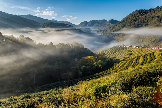 Tea plantation beautiful landscape famous tourist attraction at doi at doi ang khang