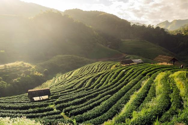 Tea plantation beautiful landscape famous