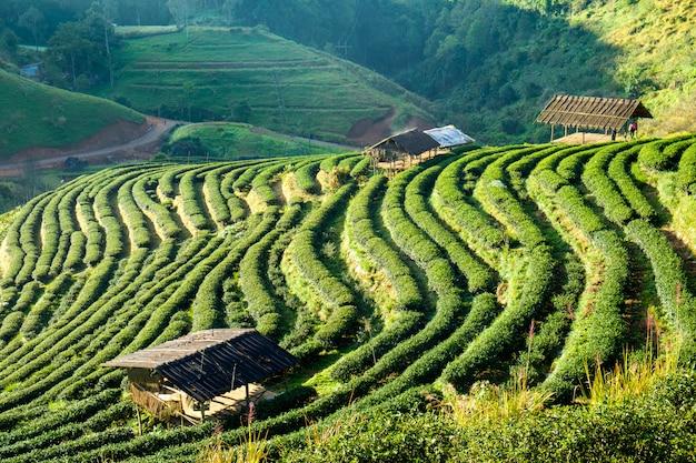 Tea plantation beautiful landscape