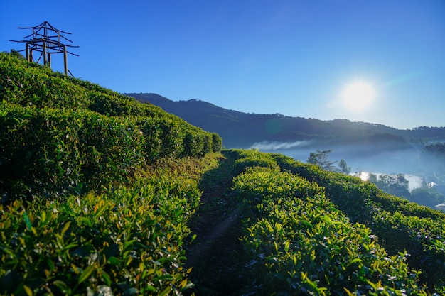 The tea plantation on beautiful nature green grass park the mountains sunlight and background relax concept in ban rak thai, mae hong son, thailand