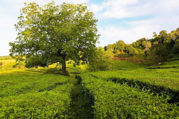 ポルトガルのサンミゲル島にある茶畑チャゴレアナ茶畑