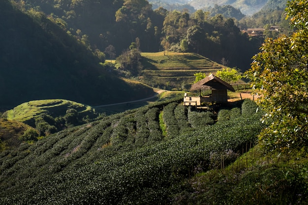 Tea plantation at doi ang kang