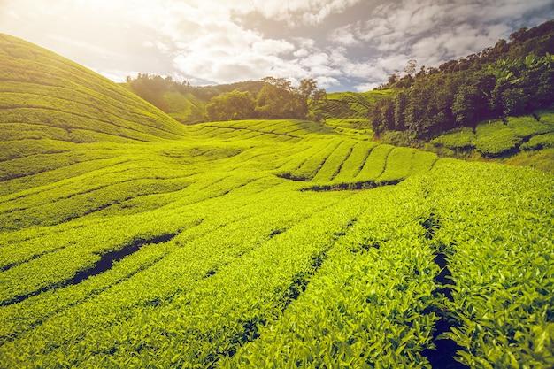 マレーシアの茶畑