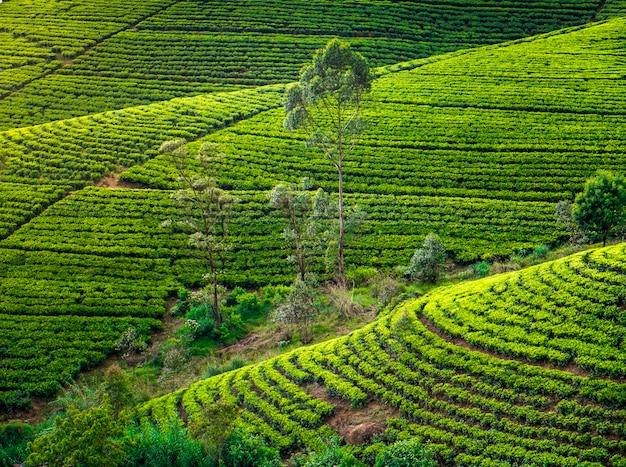 Чайная плантация в деревне