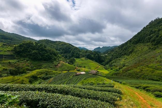 Чайная плантация в горах с утренним светом.