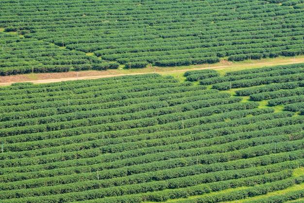 Tea plantation in the morning