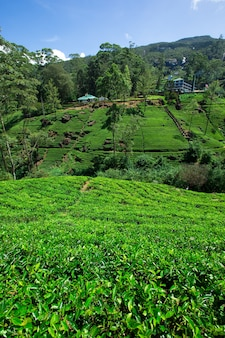 Tea plantation in mountains