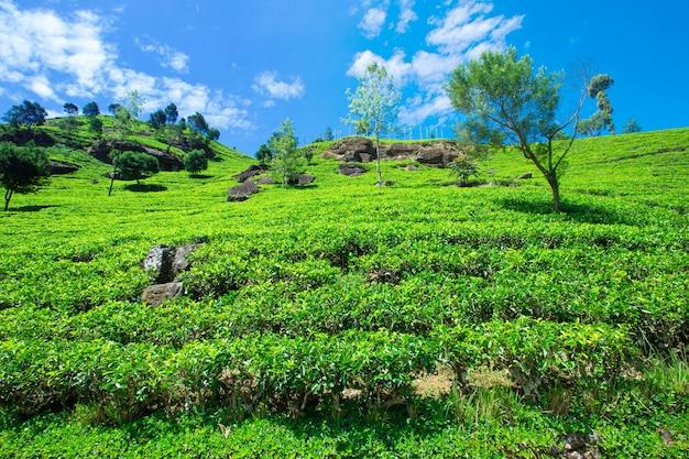 Чайная плантация. природа фон