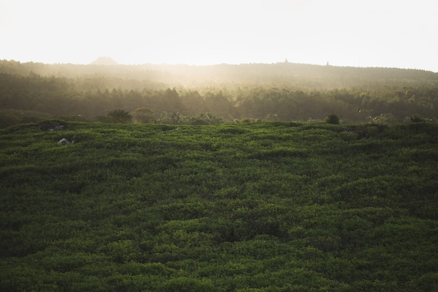 Tea plantation with tea leaves closeup with foggy mountains, blue and green