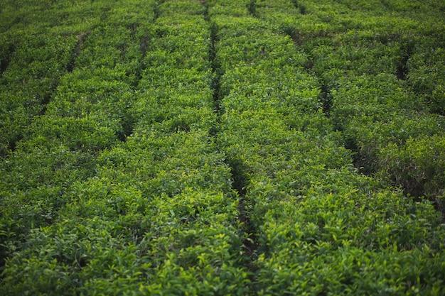 Tea plantation with tea leaves closeup with foggy mountains