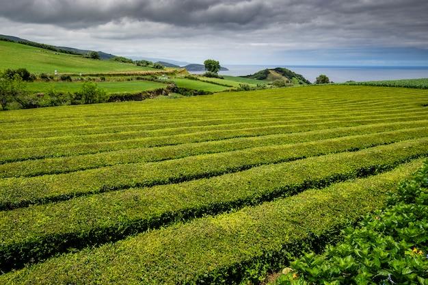 Чайные плантации у моря на острове сан-мигель. азорские острова