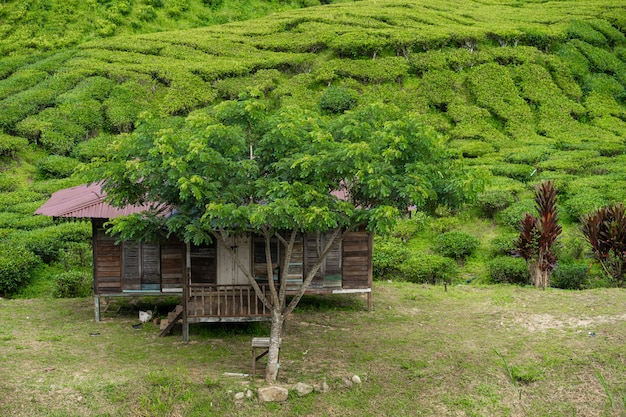 Tea plantations cameron valley. green hills in the highlands of malaysia.