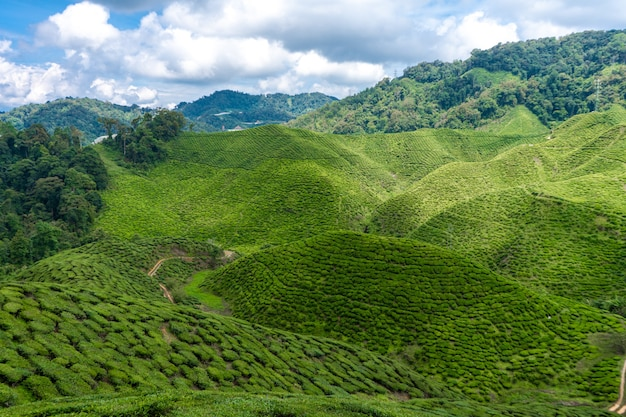 Tea plantations cameron valley. green hills in the highlands of malaysia