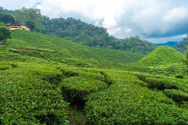 茶畑キャメロンバレー。マレーシアの高地の緑の丘。お茶の生産。若いお茶の緑の茂み。