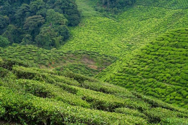 Чайные плантации камерон-вэлли. зеленые холмы в высокогорье малайзии. производство чая. зеленые кусты молодого чая.