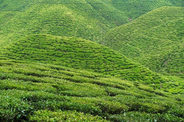 茶畑キャメロンバレー。マレーシアの高地にある緑の丘。お茶の生産。若いお茶の緑の茂み。