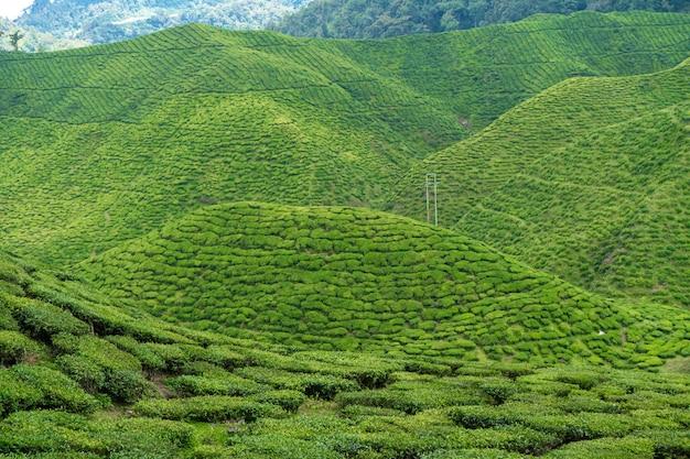 Чайные плантации камерон-вэлли. зеленые холмы в высокогорье малайзии