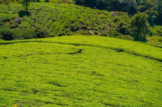 インド、ケララ州ムンナールの茶畑。