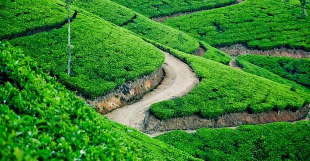 Чайные плантации на шри-ланке возле водоема