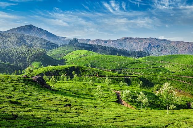 茶畑、ムンナール、ケララ州、インド