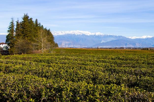 ジョージア州の茶畑、茶樹畑